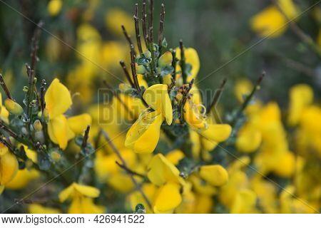 Beautiful Yellow Scotch Broom Bush Flowering And Blossoming.
