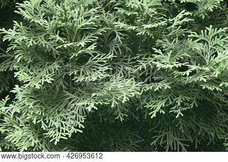 Nature Background. Close-up. Rays Of Light On Spruce Branches. Spring. Sunny Day. Vivid Minimalist N