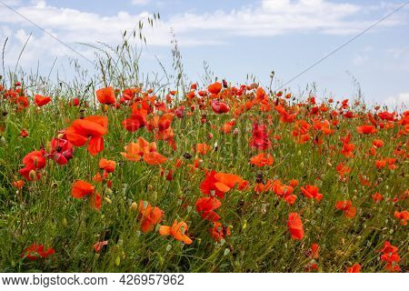 A Field With Poppy Flowers, Harvesting. Summer And Spring, Landscape, Poppy Seed. Memorial Day, Sere