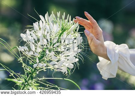Woman's Hand Touches A Beautiful White Flower . Summer Blossom. Selective Focus.