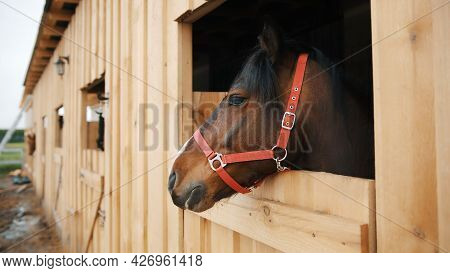 A Dark Brown Horse With A Black Mane Looking Out From The Window Of The Stall. Close-up View Of A Ho
