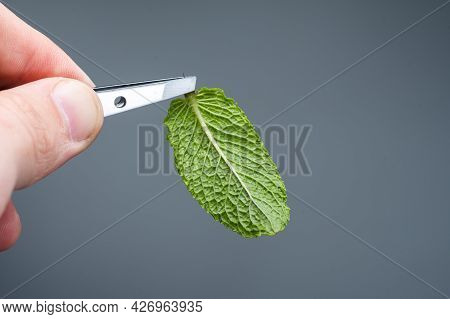 One Mint Leaf. The Reverse Side Of The Mint. Hold The Mint With Tweezers. Mint Isolated.