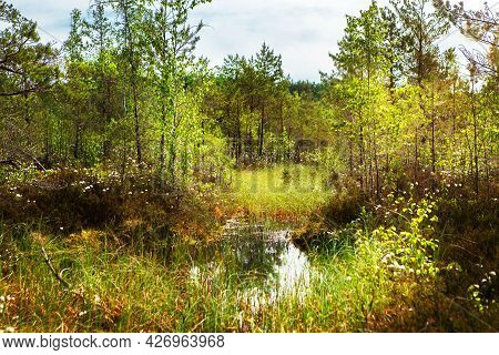 Swamp Landscape. Conservation Area, Swamp Surrounded By Pines Reflecting In The Water, Belarus.