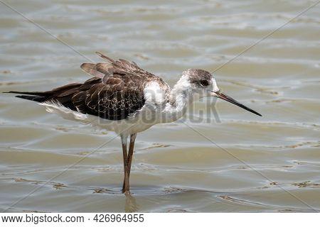 Close Up Black-winged Stilt Birds (himantopus Himantopus) On Water In Thailand - Nature Bird Of Thai