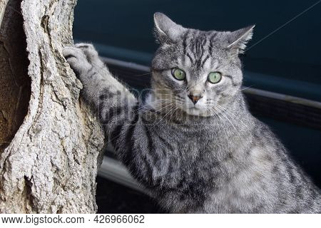 Surprised Looking Gray Tabby Cat Sharpening Claws On Tree