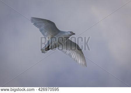 White Bird Called Antartic Pigeon - Chionis Albus - In Flight With Extended Wings And Sunlight Throu
