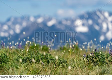 Wildflowers At Hurricane Ridge In Olympic National Park, In Selective Focus
