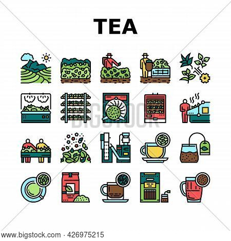 Tea Drink Production Collection Icons Set Vector. Growth Of Tea On Plantation And Harvesting, Cultiv