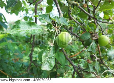 Apples Grow On A Branch In The Garden. Fruit Growing, Horticulture, Plant, Summer. Copy Space