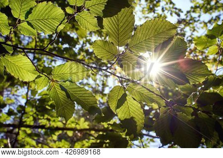 Sunlight Beams Get Through The Green Foliage Of Beech Trees In Virgin Forest In Carpathian Mountains
