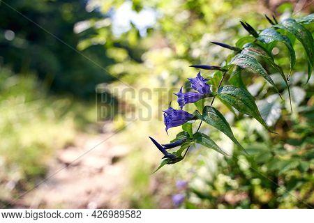 Beautiful Giant Bellflower With Blue Flowers Growing On Teh Side Of A Forest Road In Carpathian Moun