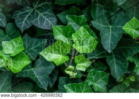 Hedera Helix. Evergreen Vine, Climbing Flowering Wild Plant Of The Common Ivy Genus In The Family Ar