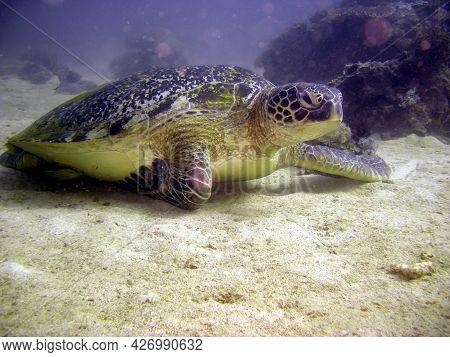 Sea Turtle Cheloniidae Is Diving In The Filipino Sea 2.2.2018