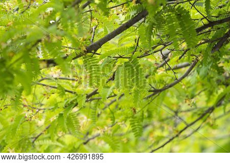 Beautiful Tamarind Leaves In Soft Focus And Tree Blur Background Concept.