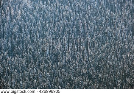 Top Down Aerial View Of Snow Covered Evergreen Pine Forest After Heavy Snowfall In Winter Mountain W