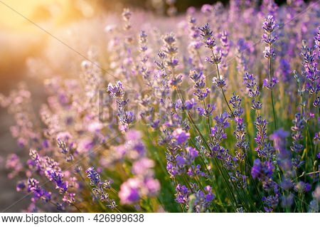 Lavender Flowers Sunset Over A Summer Purple Lavender Field Background. Bunch Of Scented Flowers In