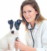 Female veterinarian examining jack russell terrier with stethoscope. Isolated on white poster