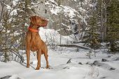 a muscular pure breed hunting dog in winter settings poster