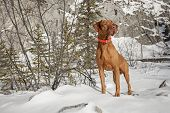 hunting dog in the snow being attentive poster