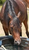 Head on shot of a horse drinking from a water trough in summer poster