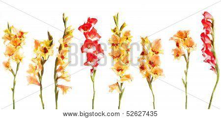 Gladiolius Flowers In A Line