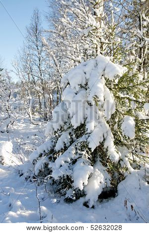 Spruce with snow