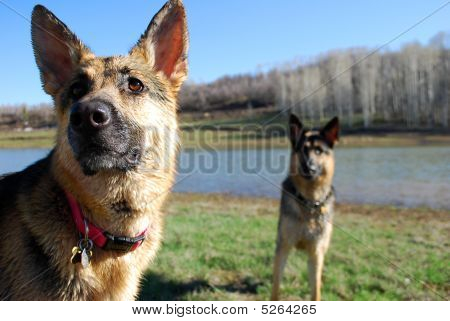 German shepards