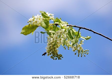 Branch of the a kind of cherry tree