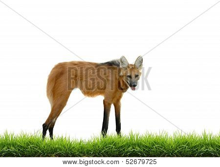 maned wolf with green grass isolated on white background poster