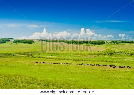grazing cows on pasture blue sky and clouds poster