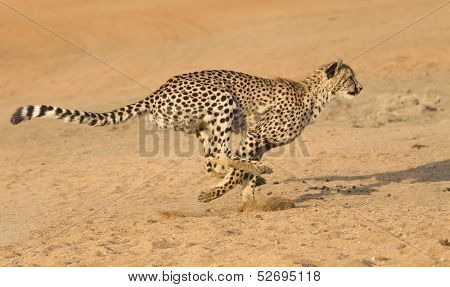 cheetah running images illustrations amp vectors free