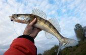Walleye caught on handmade lure in fisherman's hand against cloudy sky poster