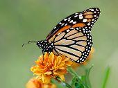 Monarch butterfly (Danaus plexippus) on orange garden flowers during autumn migration. Natural green background. poster