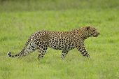 Male African Leopard stalking prey in the fresh green grass of spring. (Panthera pardus) South Africa poster
