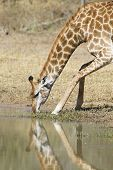 A female Southern Giraffe drinks from a natural pan in Kruger Park South Africa. (Giraffa camelopardalis) poster