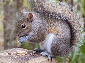 Gray squirrel, Sciurus Carolinensis, sitting on a fence post eating a peanut poster