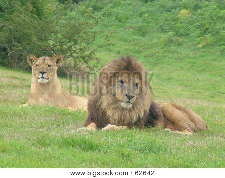 LionLioness