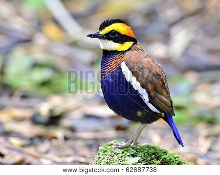 Banded Pitta bird (Pitta guajana) spiky hair standing on a mossy rock poster