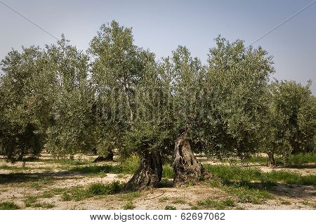 Olive tree from the picual variety