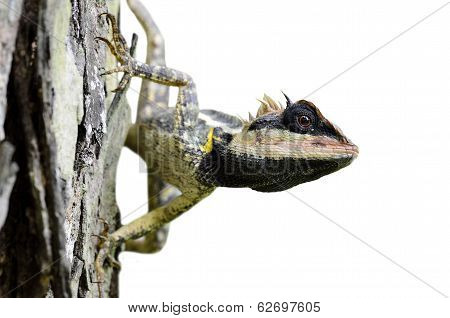 Greater Spiny, Masked Or Boulenger Long Headed Lizard Isolated From Background