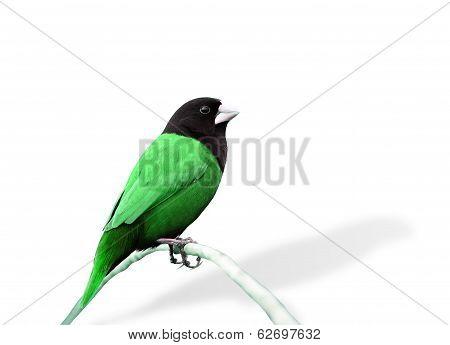 Green Bird In Fancy Color (black-headed Munia)