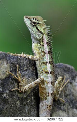 Green Crested Lizard, Black Face Lizard, Tree Lizard,boulenger Long Headed Lizard, Pseudocalotes Mic