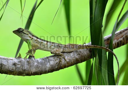 Green Crested Lizard, Black Face Lizard, Tree Lizard,boulenger Long Headed Lizard, Pseudocalotes Mic
