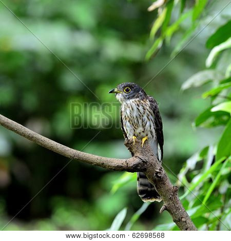Hodgson's Cuckoo Bird Perching On The Branch With Green Environment