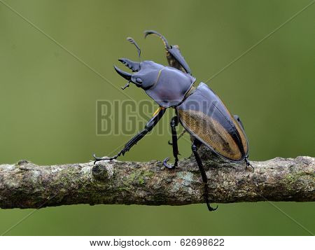 Hornless Female Of Rhinoceros Beetle (allomyrina Dithotomus) With Nice Green Background