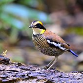 Beautiful femalehttp://www.bigstockphoto.com/account/uploads/contribute?edit=62688512#categories of Banded Pitta bird (Pitta guajana) poster