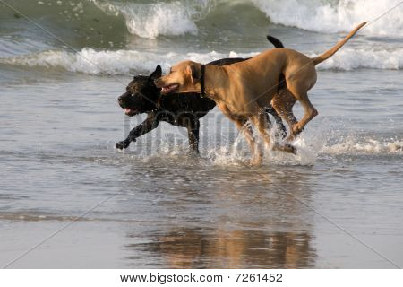 Two dogs running in the ocean on a summer morning poster