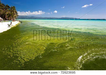 Seaweed In Turquoise Sea, Water Plant On Boracay Island