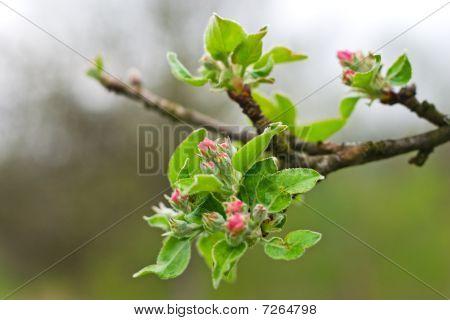 Blossom bud