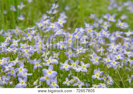 Bluet Flowers In A Group